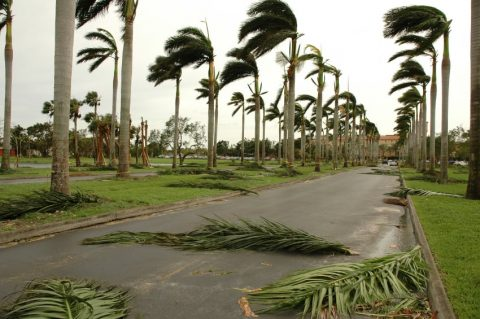 the aftermath of a cyclone with palm fronds scattered on the ground